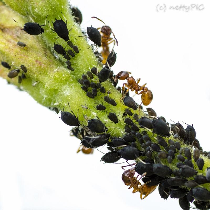 Ameisen/Blattläuse