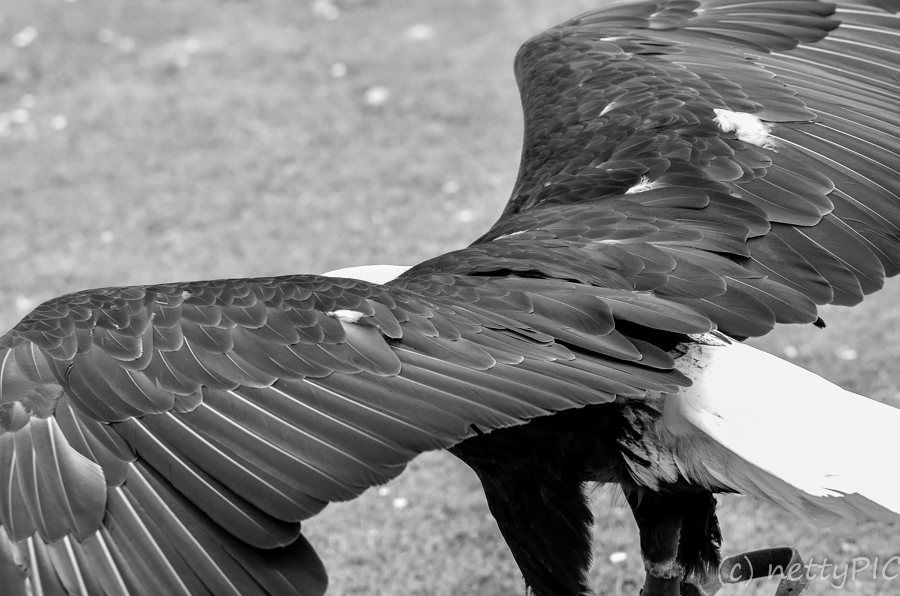 Adlerwarte – B/W /  Birds of prey # 2