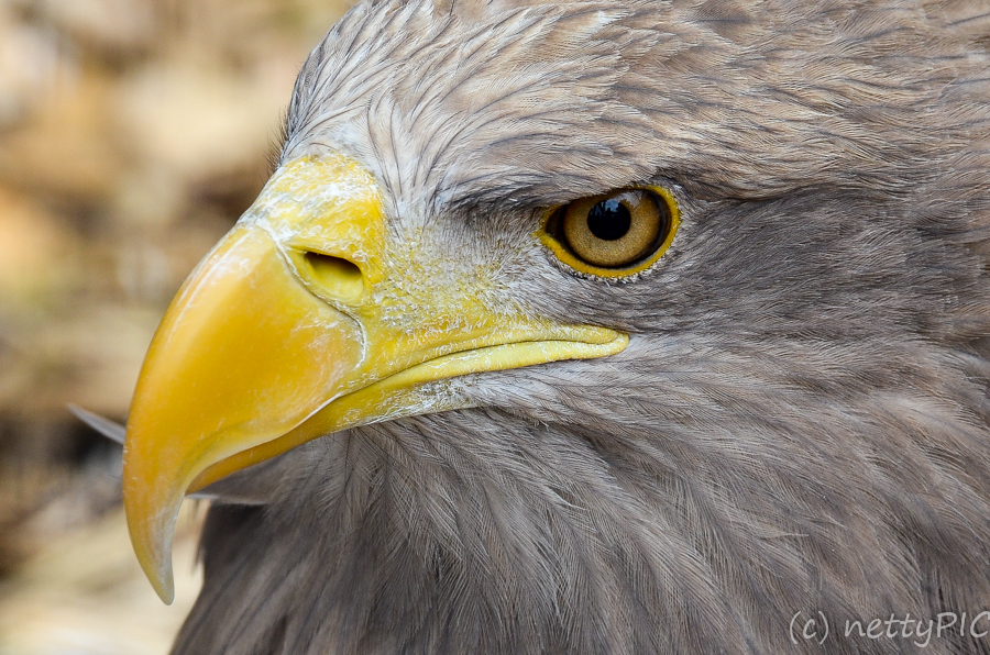 Vogelportraits – Adlerwarte / Birds of prey # 3