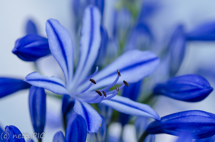 Agapanthus – Monday flowers #2