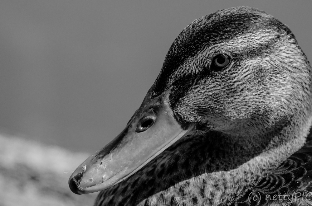 Black and white Photo Project 2013 – October: Duck