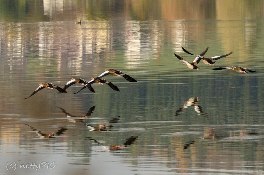 Nilgänse am See / Fotoprojekt 26|Dreizehn – Spiegelung