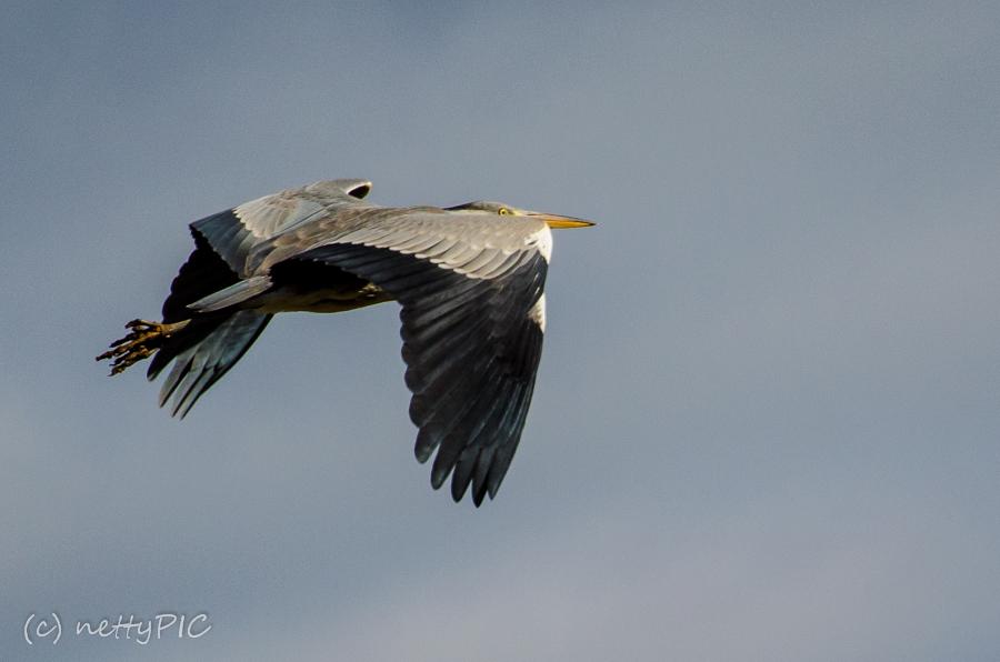 Graureiher / Heron