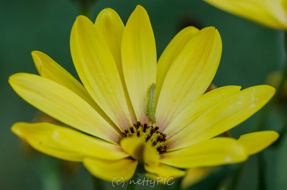 Kapmargerite – Monday Flowers #1