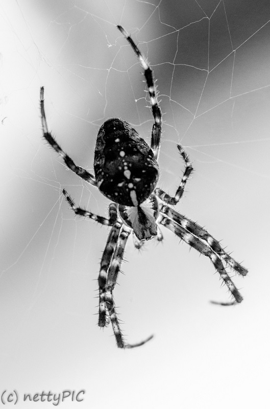 Kreuzspinne / Cross Spider