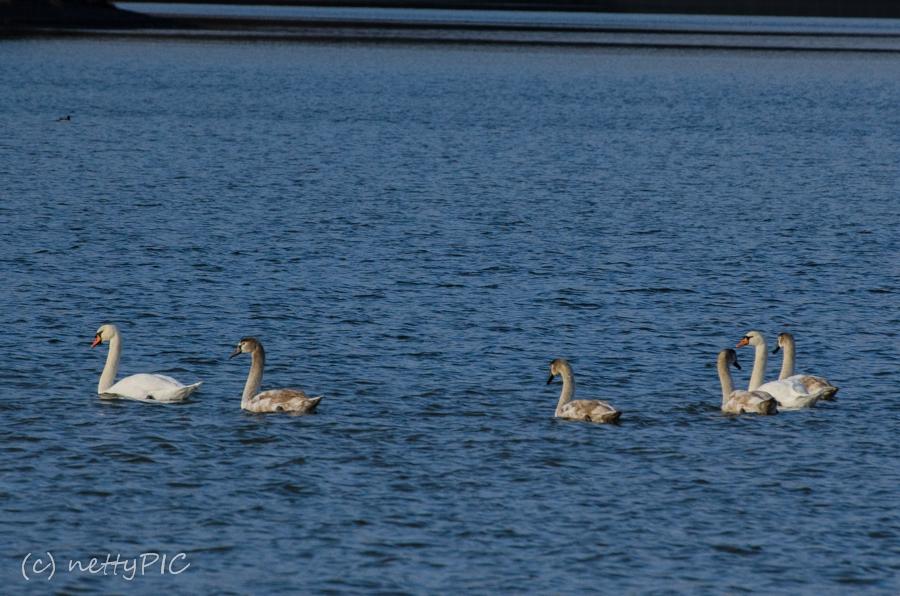 Schwäne/ swans
