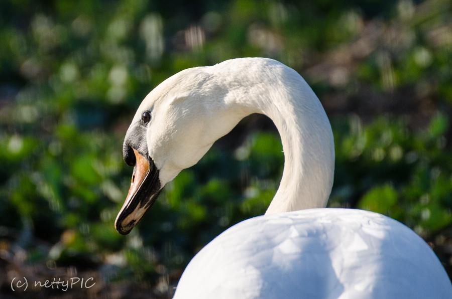Schwan zu Lande / Swan