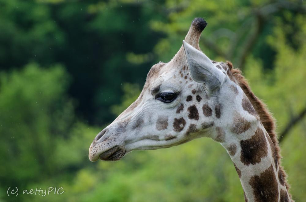 Zoo # 1 – Giraffen / Giraffes