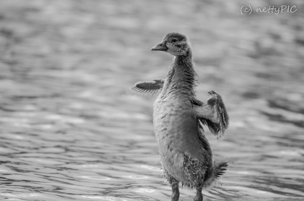 Nachwuchs bei den Nilgänsen / Egyptian goose