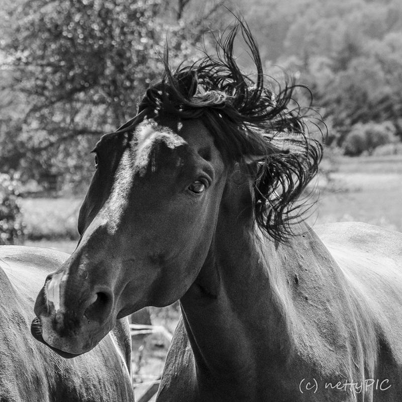 Horses B/W – Nochmal Pferde…