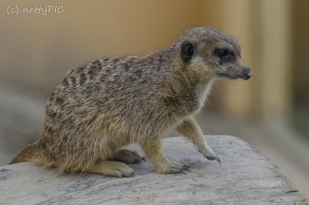 Erdmännchen / Meerkats