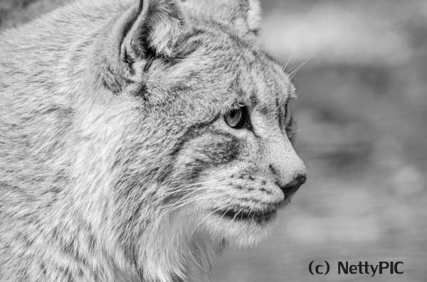 Luchs / Lynx #1