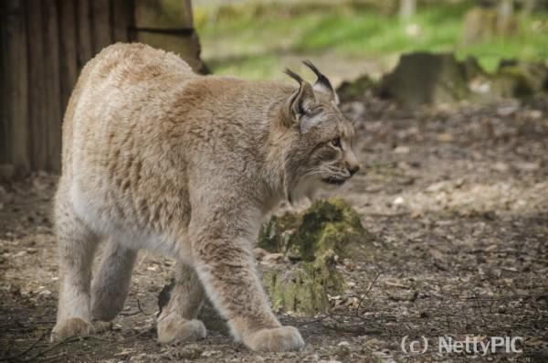 Luchs / Lynx #2