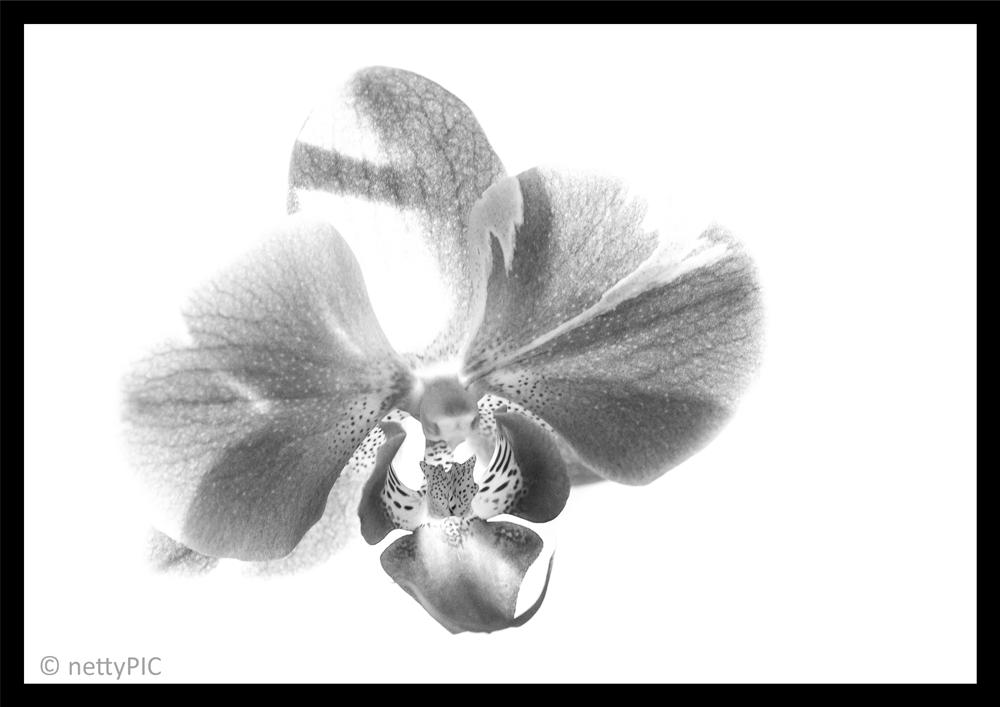 Phalaenopsis monochrom