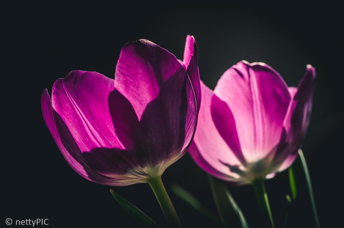 Licht und Schatten – Tulpe indoor