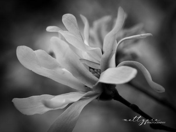 Magnolie schwarz-weiß
