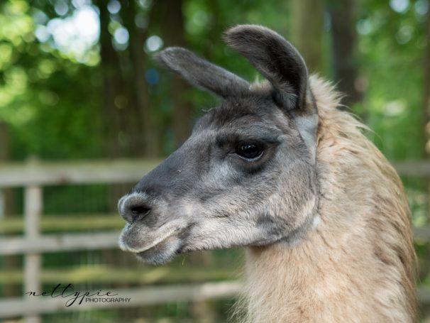 Fotowalk im Wildgehege Herborn – Lamas