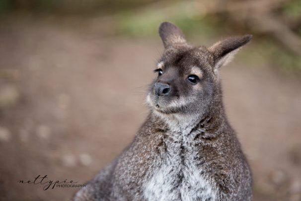 Tierpark Herborn #2 – Känguru